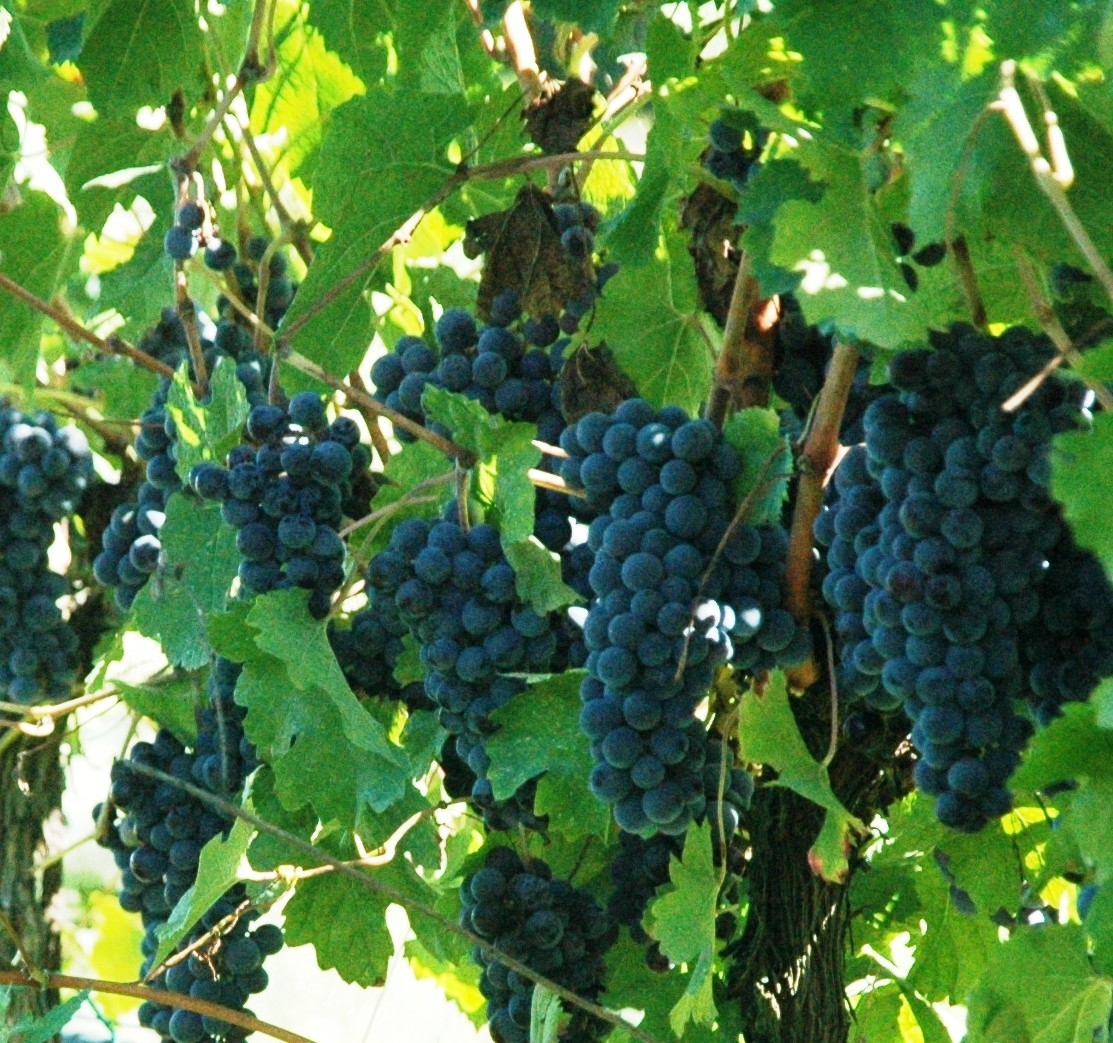 Tenuta di Fiorano vineyards